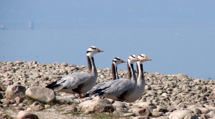 Bar Headed Geese at Pong Dam Wetlands, Himachal Pradesh in 2009